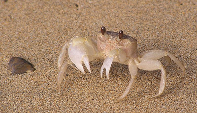 Ghost-Crab-Adaptation